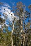 Arbres de gomme grands dans les hinterlands de l'Australie du Queensland Photos libres de droits