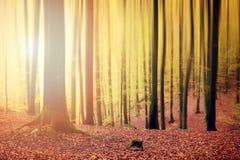 Arbres de hêtre à l'automne photo libre de droits