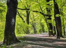 Arbres de hêtre antiques magnifiques en parc Photographie stock libre de droits