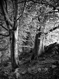 Arbres de hêtre contre un mur en bois de nid de corneille images libres de droits