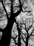 Arbres de hêtre d'hiver en bois de nid de corneille photo stock