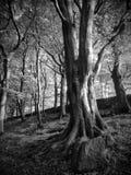 Arbres de hêtre de Hillside contre en des bois de nid de corneille photographie stock