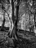 Arbres de hêtre en bois de nid de corneille photo libre de droits