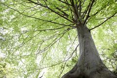 Arbres de hêtre pendant le printemps Photos libres de droits