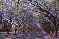 Arbres de Jacaranda à Harare Photographie stock