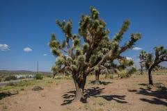 Arbres de Joshua en Arizona Photographie stock libre de droits