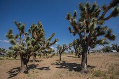 Arbres de Joshua en Arizona Photo libre de droits