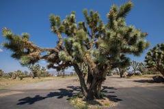 Arbres de Joshua en Arizona Photos libres de droits