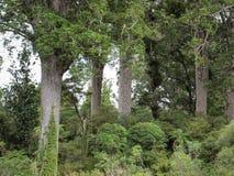 Arbres de Kauri sur la péninsule de coromandel Photos stock