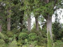 Arbres de Kauri sur la voie de marche de quatre soeurs Photos stock