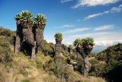 Arbres de Kilimanjaro Photographie stock libre de droits
