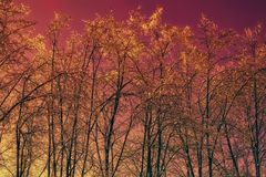Arbres de l'hiver contre le ciel rouge Image stock