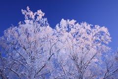 Arbres de l'hiver et ciel bleu Photographie stock libre de droits