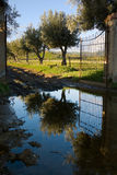 arbres de ligne d'olives Photographie stock