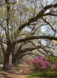 Chênes vivants et azalées à la plantation de magnolia Image stock