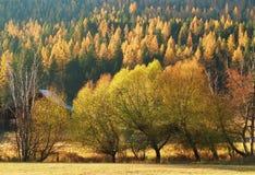Arbres de mélèze d'automne du Montana Photographie stock libre de droits