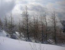 Arbres de mélèze de Leafles pendant l'hiver Images libres de droits