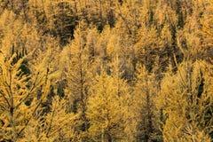 Arbres de mélèze jaunes en automne Photo libre de droits