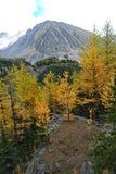 Arbres de mélèze pour Autumn Color Photos libres de droits
