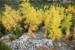 Arbres de mélèze tournant jaunes dans la forêt Images stock