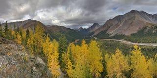 Arbres de mélèze tournant jaunes dans la forêt Photo stock
