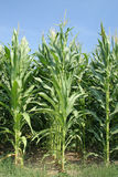 Arbres de maïs Photo libre de droits