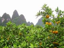 Arbres de mandarine dans les montagnes Photo stock