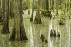 arbres de marais de cyprès Photos libres de droits