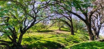 Arbres de maronnier américain s'élevant sur des collines photographie stock