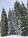 Arbres de Milou au Montana photographie stock