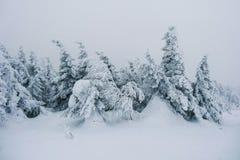 Arbres de Milou dans la forêt d'hiver Photos stock
