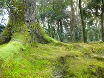 Arbres de Moss Grows On Ground And au temple de Kinkakuji Image stock