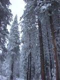 Arbres de neige photo stock