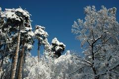 Arbres de neige sur le soleil Photographie stock