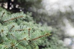 Arbres de Noël Images libres de droits