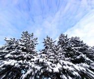 Arbres de Noël avec la neige et le ciel Images stock