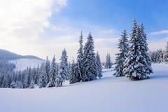 Arbres de Noël pelucheux fantastiques dans la neige Carte postale avec les arbres grands, le ciel bleu et la congère Paysage d'hi Photographie stock