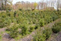 Arbres de Noël retournés ou réutilisation des arbres de Noël aux Pays-Bas photos stock