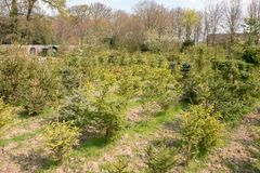 Arbres de Noël retournés ou réutilisation des arbres de Noël aux Pays-Bas photo stock