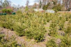 Arbres de Noël retournés ou réutilisation des arbres de Noël aux Pays-Bas photographie stock