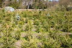 Arbres de Noël retournés ou réutilisation des arbres de Noël aux Pays-Bas images stock