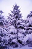 Arbres de Noël sous le bel enneigement. Paysage d'hiver Images stock