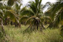 Arbres de noix de coco dans la campagne thaïlandaise Images stock