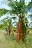 Arbres de noix de coco dans la campagne thaïlandaise Photographie stock libre de droits