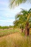 Arbres de noix de coco dans la campagne thaïlandaise Photos libres de droits