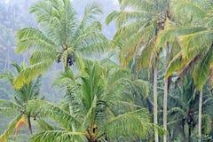 Arbres de noix de coco grands sous la pluie Images libres de droits