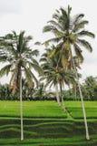 Arbres de noix de coco haute et champs de terrasse de riz et quelques palmiers autour, Bali images stock