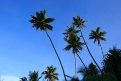 Arbres de noix de coco sous le ciel bleu Images stock
