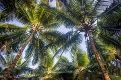 Arbres de noix de coco Photos libres de droits