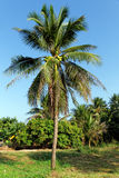 Arbres de noix de coco Images libres de droits